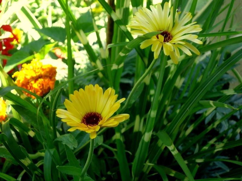 Calendula with Porcupine Grass