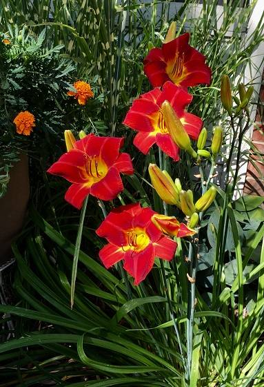 Day Lilies 2019