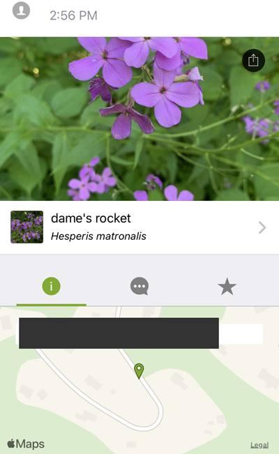 dames-rocket