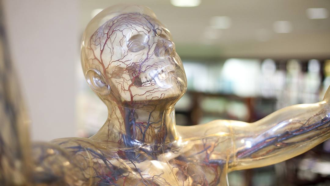 Debuted at the 1933 Chicago World's Fair, Transparent Man was a breakthrough in educational technology. Today the exhibit lives on, greeting visitors as they enter the Patient Education Center at Mayo Clinic's Rochester campus.
