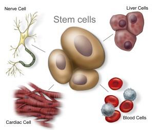 Illustration of various stem cells