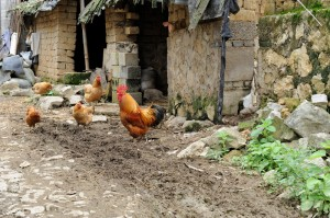 Chickens wandering a rural village.