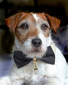 Picture of Jack Russell Terrier with black bow tie