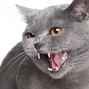 Gato gris con la boca abierta, mostrando sus afilados dientes.