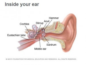 Inside your ear illustration