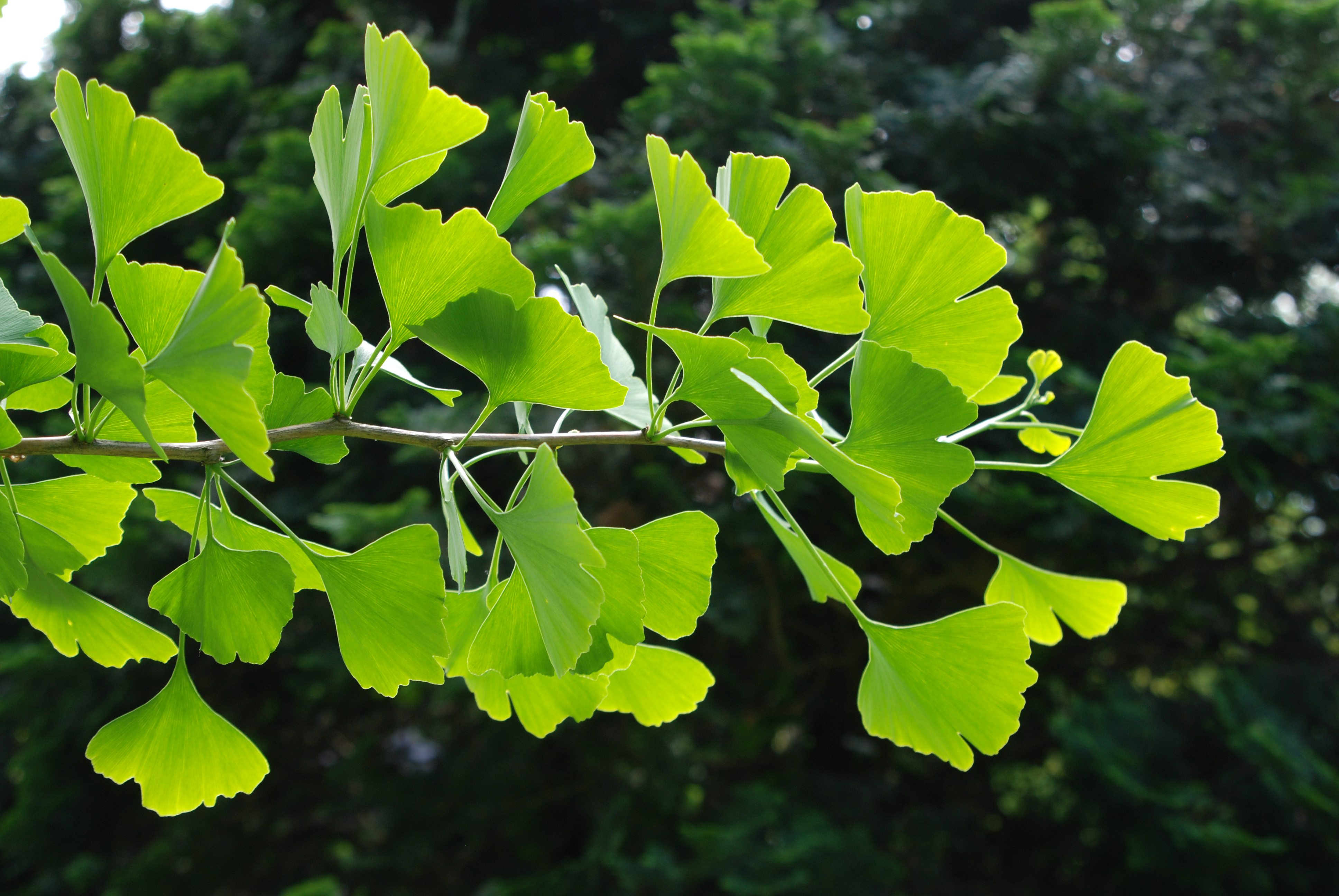 green leaves of a ginkgo tree