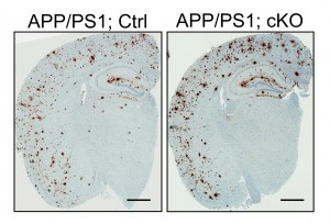 Loss of LRP6 in neurons leads to enhanced buildup of amyloid protein, a pathological hallmark of Alzheimer's disease.