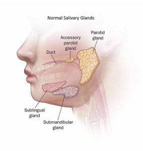 illustration of normal salivary glands