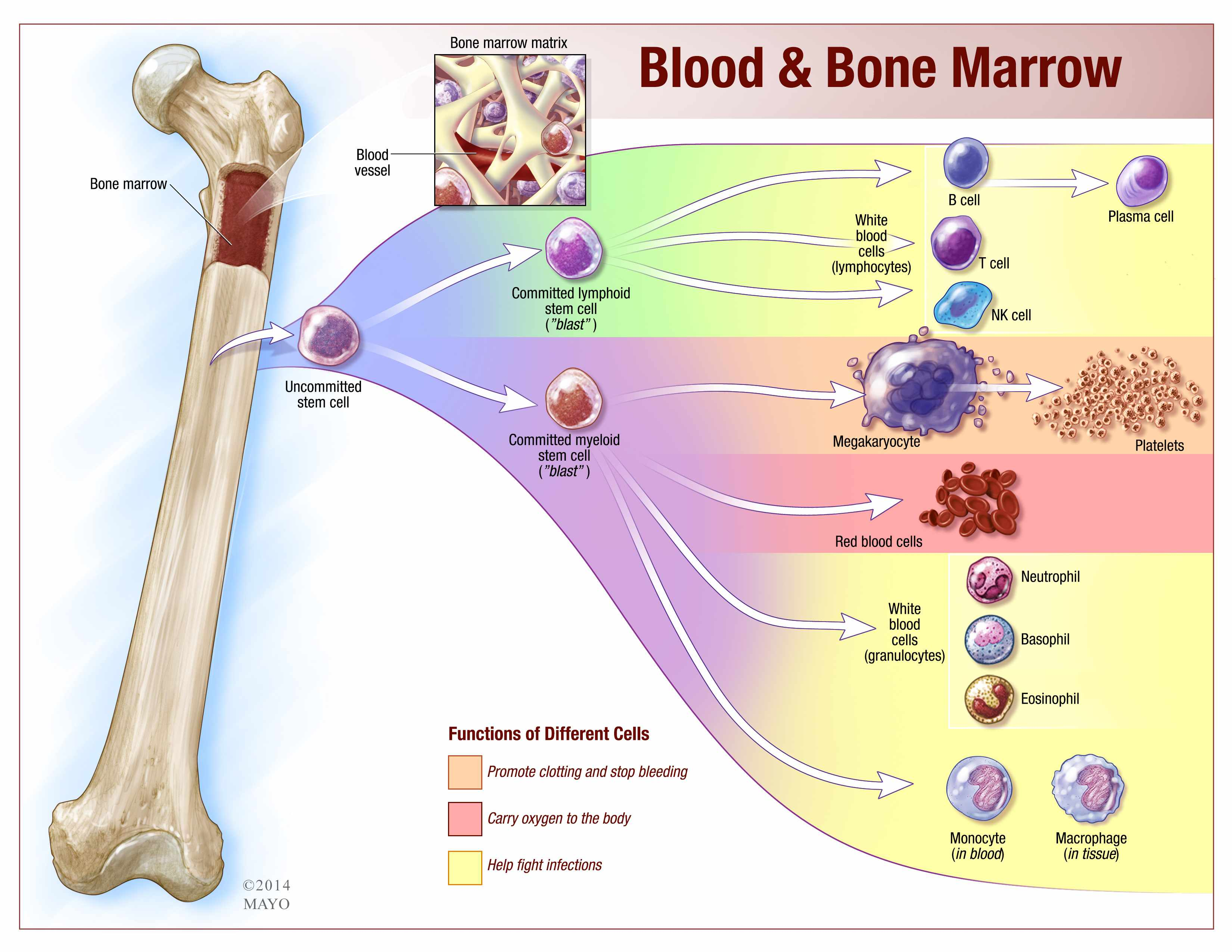 Which body system makes your red blood cells with the help of marrow