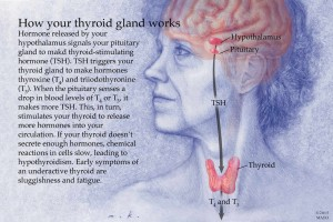 how thyroid works illustration