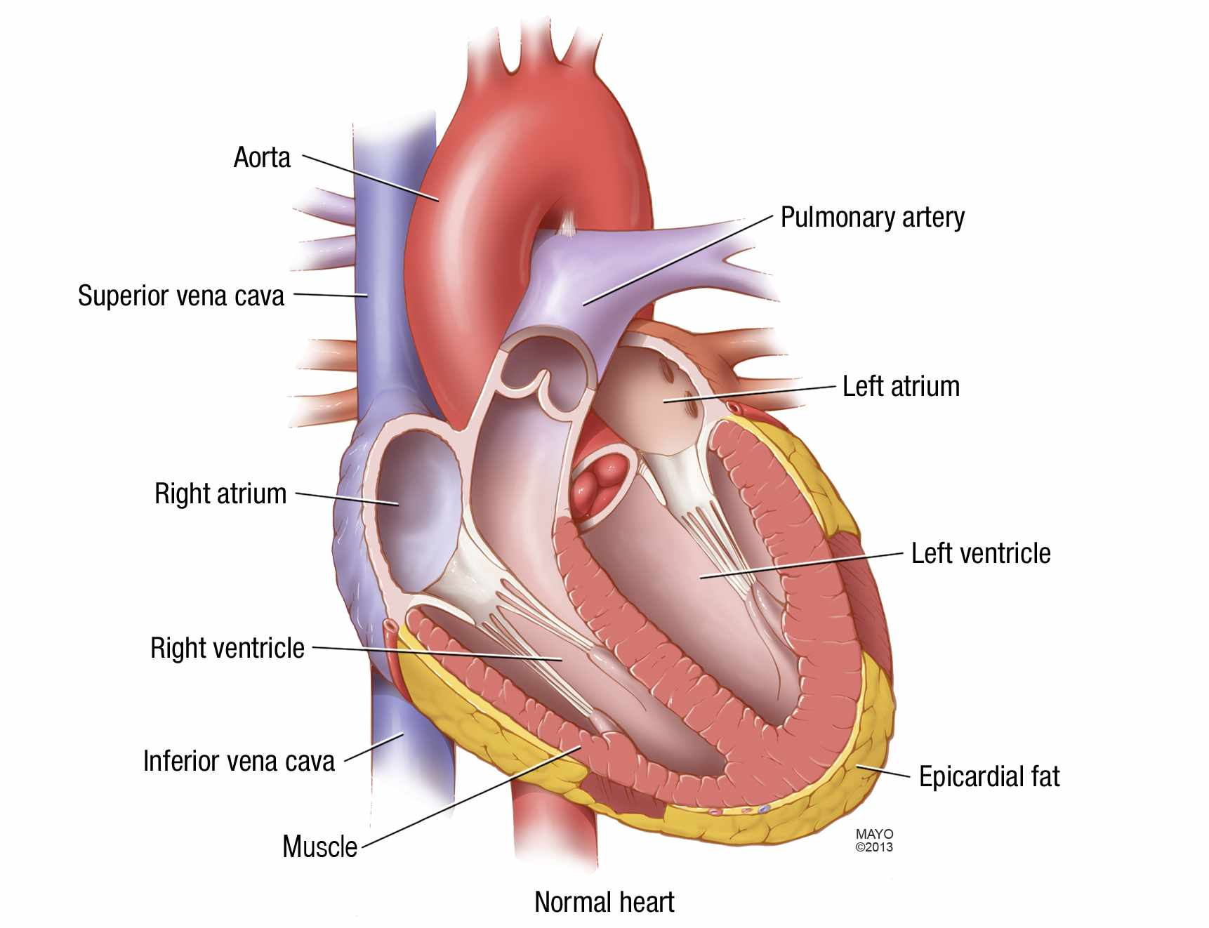 illustration of normal heart