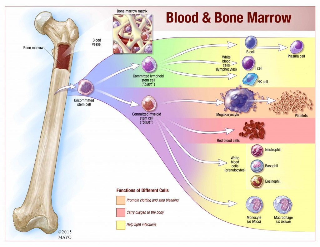 illustration overview of what bone marrow makes and where lymphocytes come from