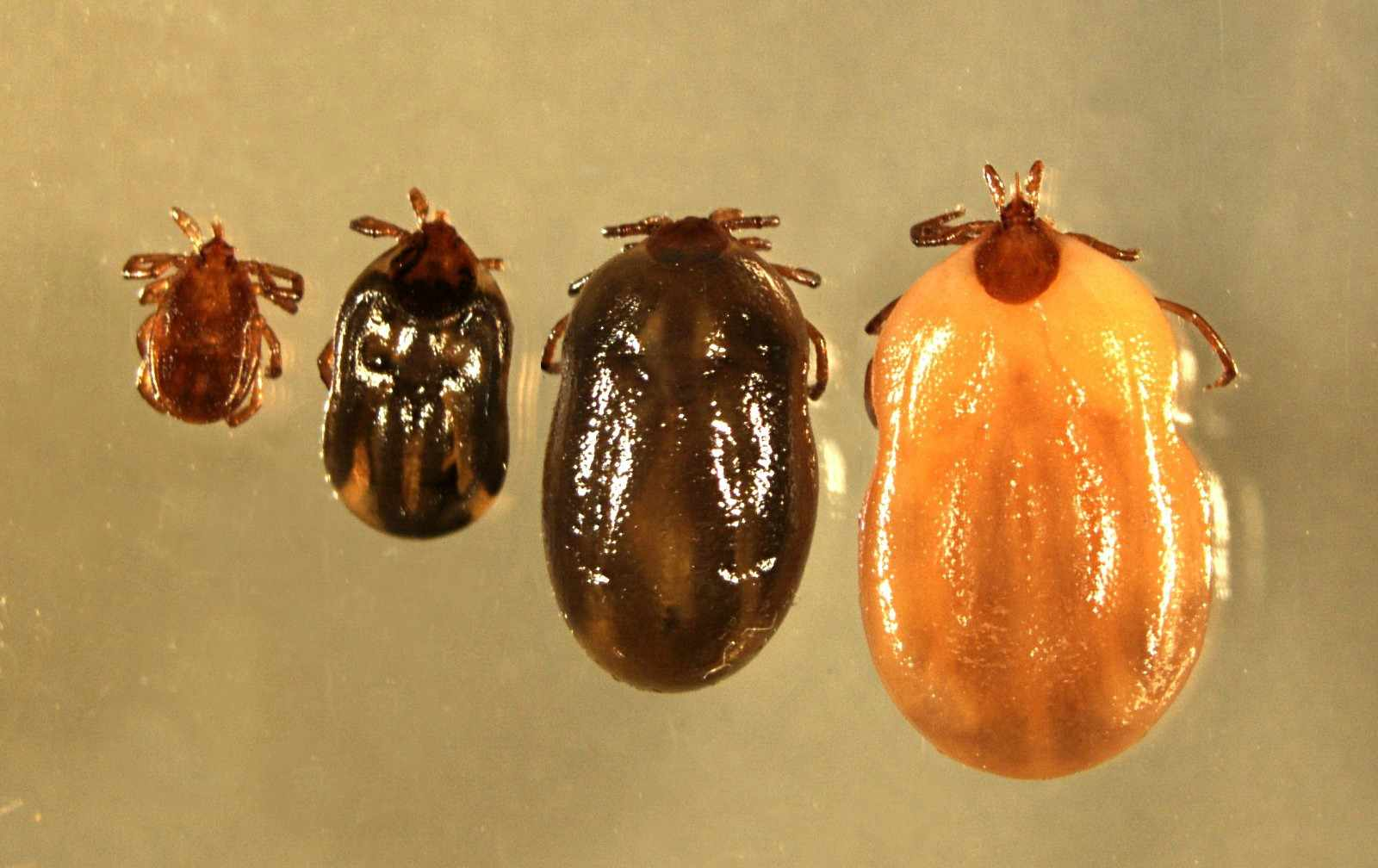 wood tick showing degree of engorgement
