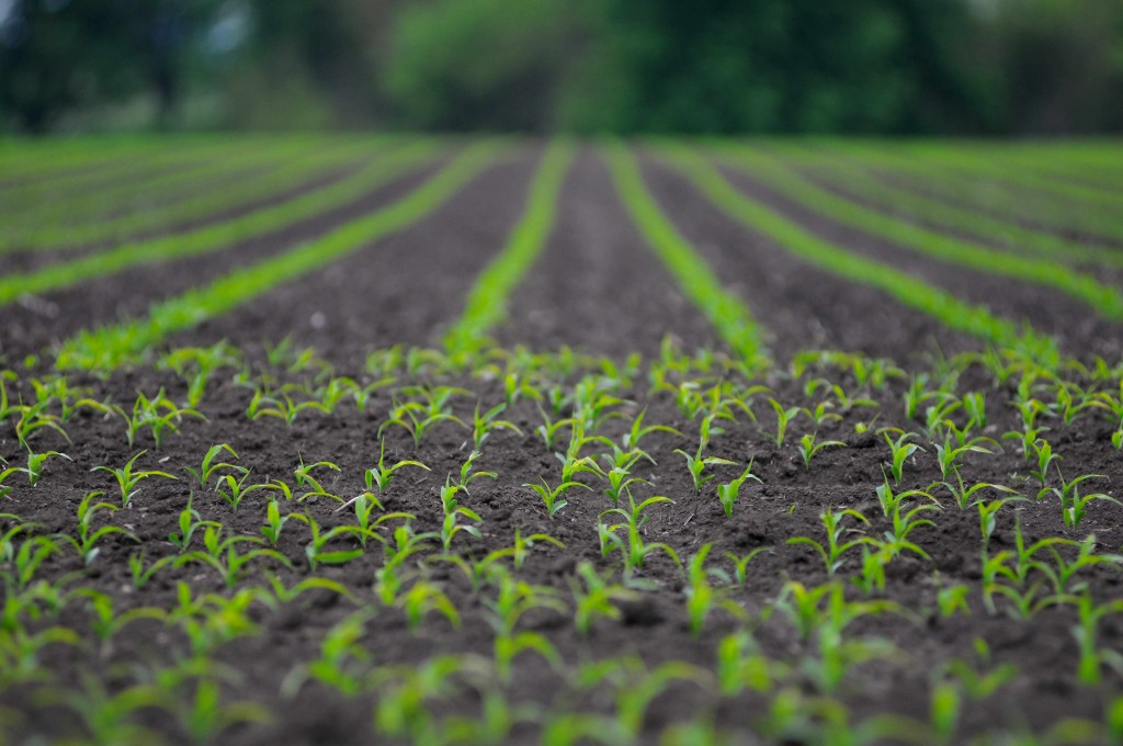 spring planting, field of new corn, growing vegetables on a farm