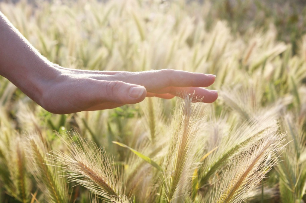 woman's hand gently touching wheat in a farm field, touching senses, depicting thoughtfulness and mindfulness