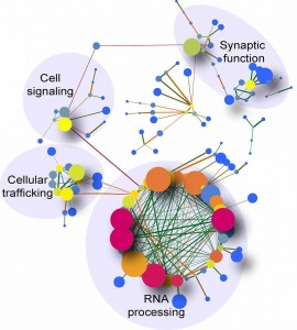 Researchers used systems biology to generate networks that show the associations of differently processed RNAs in the cerebellum brain region of patients with c9ALS. The main pathway affected in this brain region is that of RNA processing. Cell signaling, synaptic function, and cellular trafficking pathways also were highly affected. Genes are represented in this image by nodes of different sizes and colors, which vary according to their connection degree. Edges are colored depending on their proximity and influence to other genes.