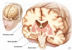 medical illustration of the brain with cerebral cortex and brain stem