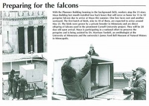 newspaper photo of peregrine falcon project, Throwback Thursday