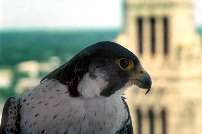 close up of peregrine falcon at Mayo Clinic with Plummer Building