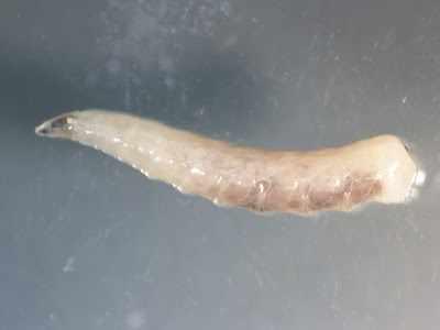 slide of white worm parasite