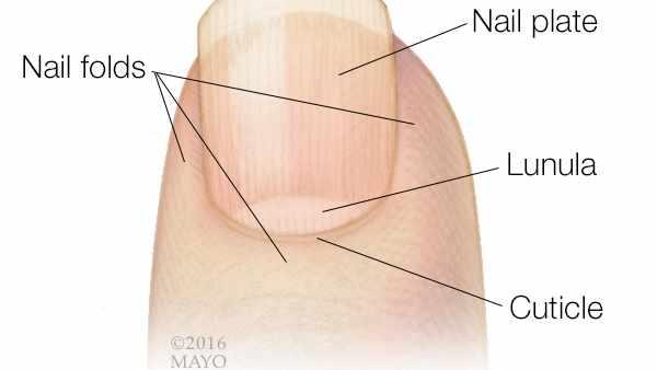 Ilustración médica de la punta de un dedo y una uña