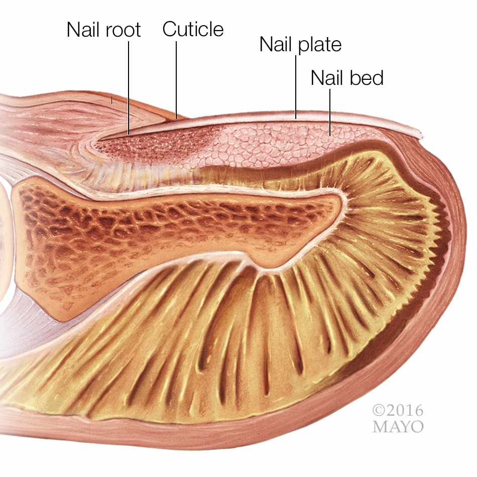 medical illustration of a fingertip and fingernail in cross section