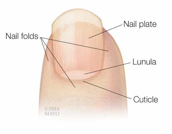 medical illustration of a fingertip and fingernail