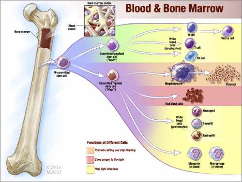 a medical illustration of blood and bone marrow