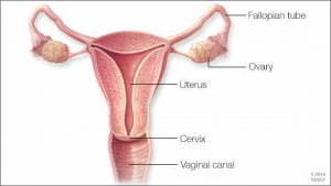 Illustration of the female reproductive system -- fallopian tubes, ovaries, uterus, cervix, vaginal canal