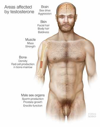 a medical illustration of areas of a man's body affected by testosterone