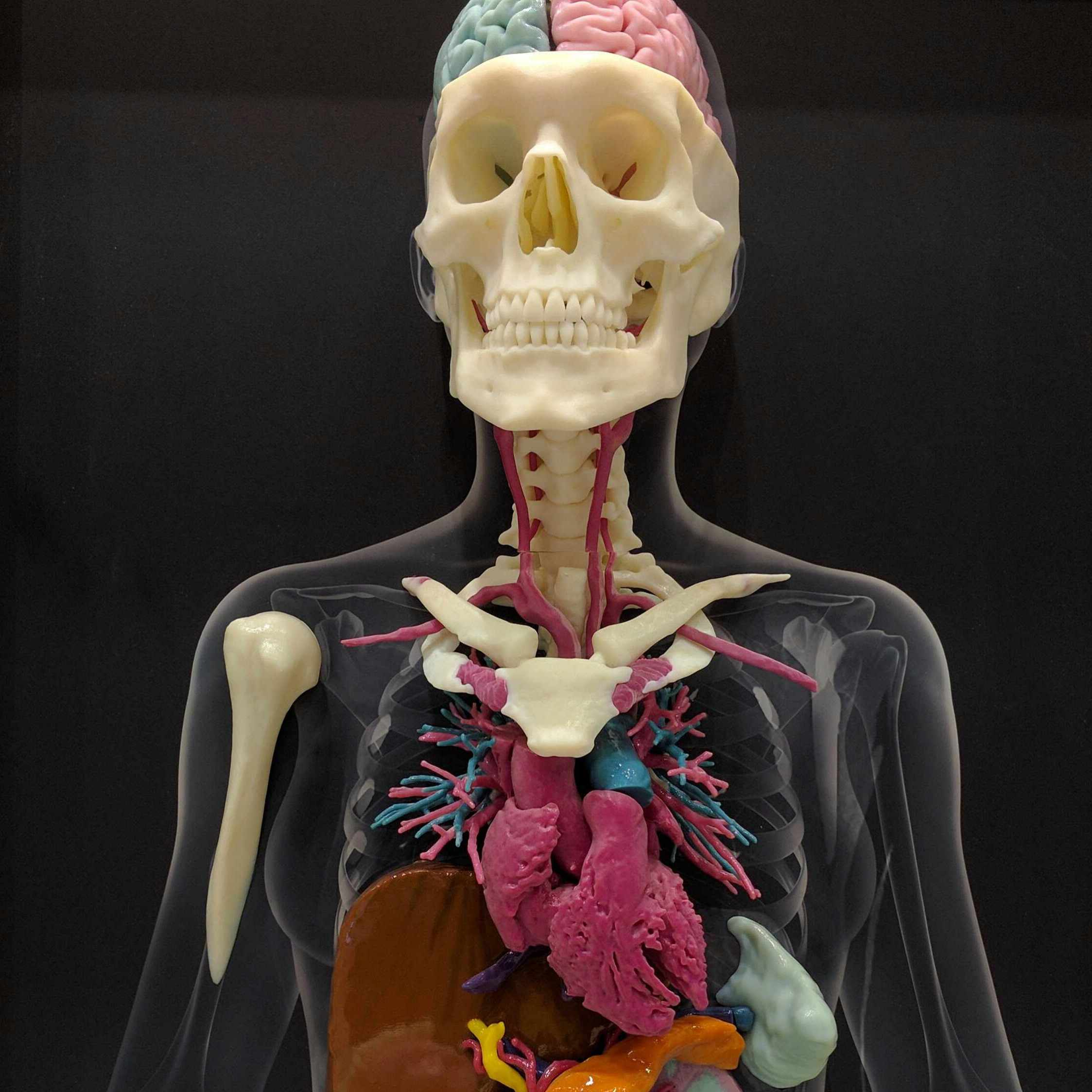 3d radiology model of human skeleton