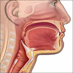 a medical illustration of the anatomy of the throat