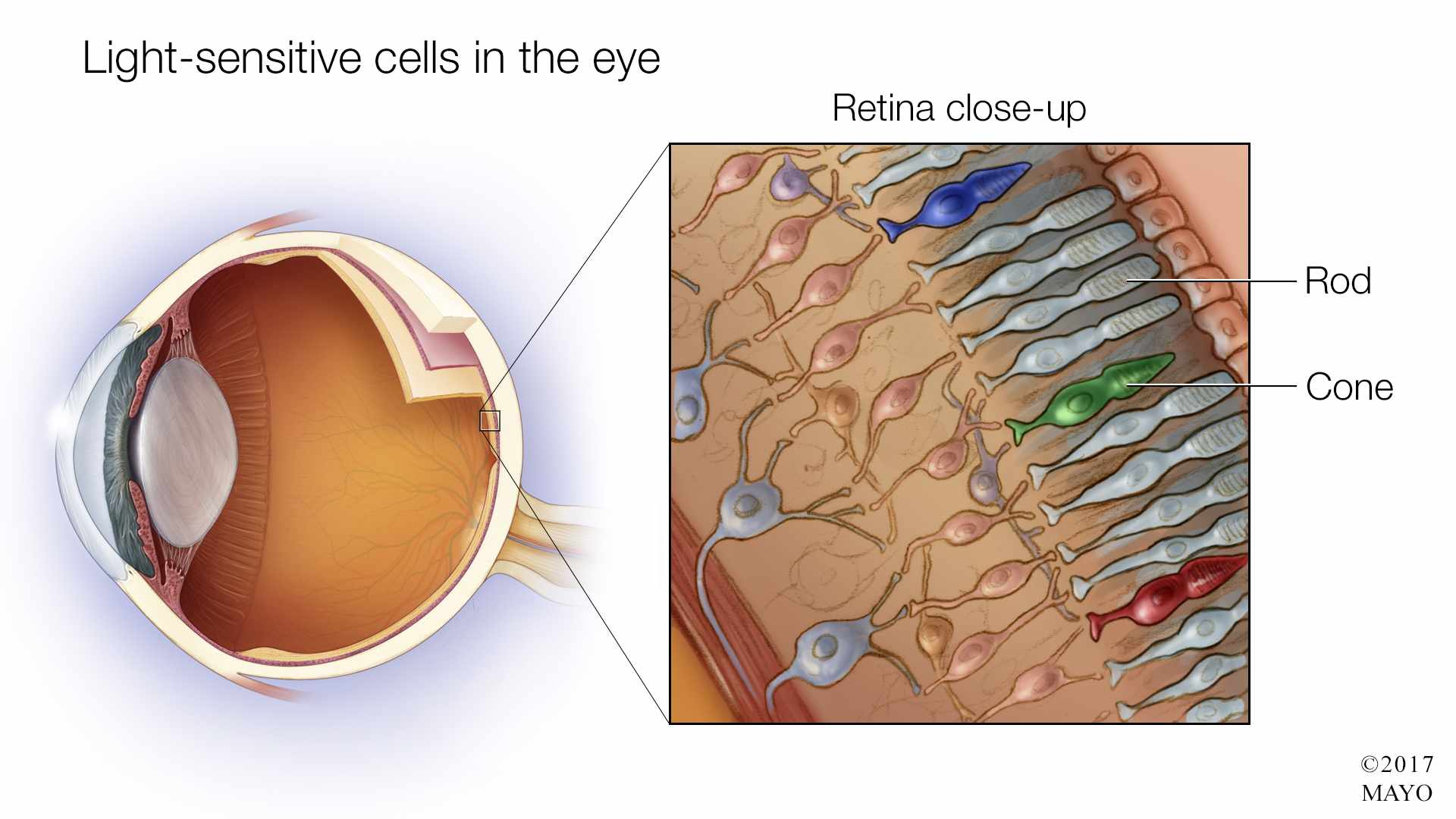a medical illustration of light-sensitive cells in the eye with close-up of the retina, rods and cones