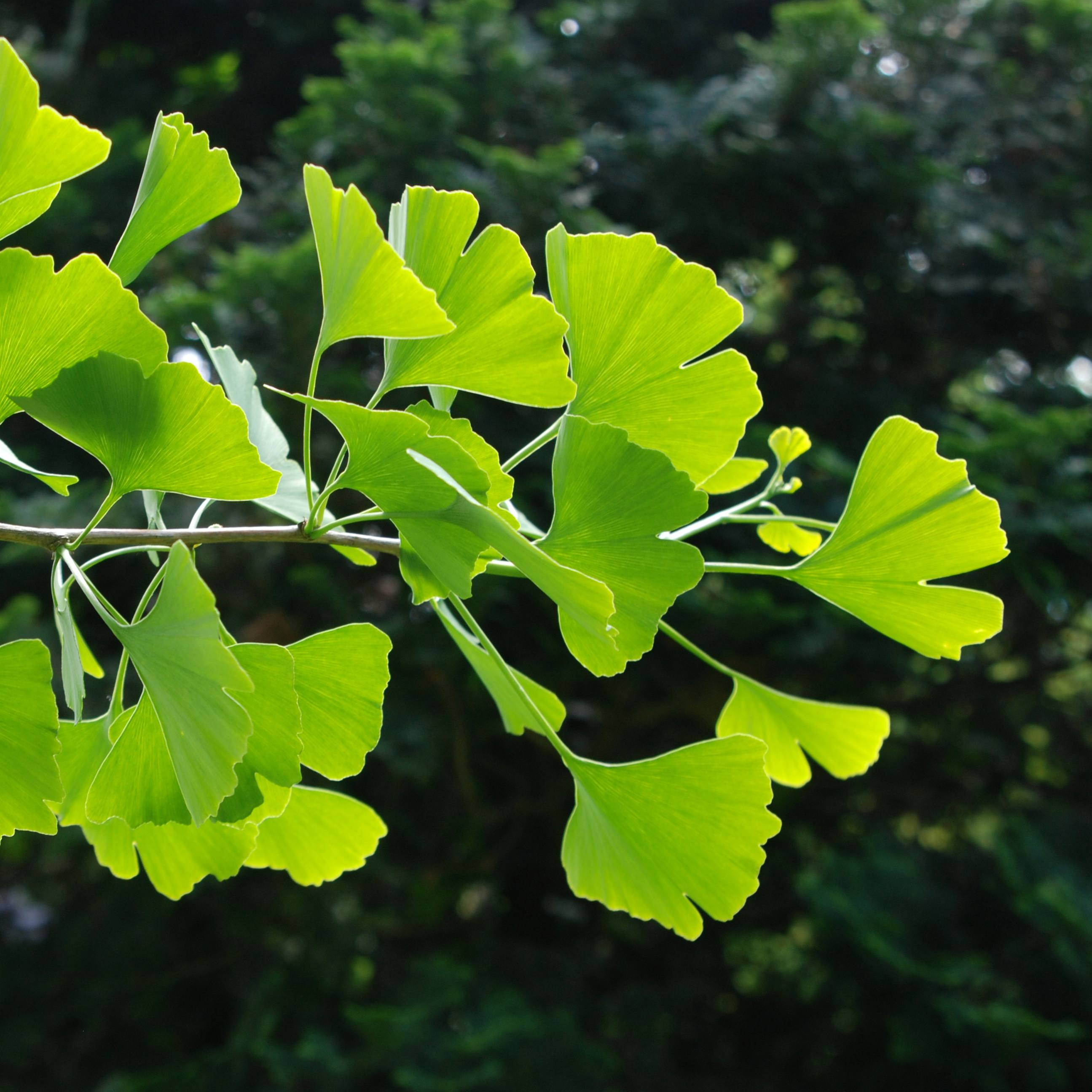 a branch of a ginkgo tree with bright green leaves in the sunlight
