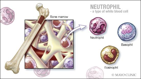a medical illustration of bone marrow, neutrophils, basophils and eosinophils