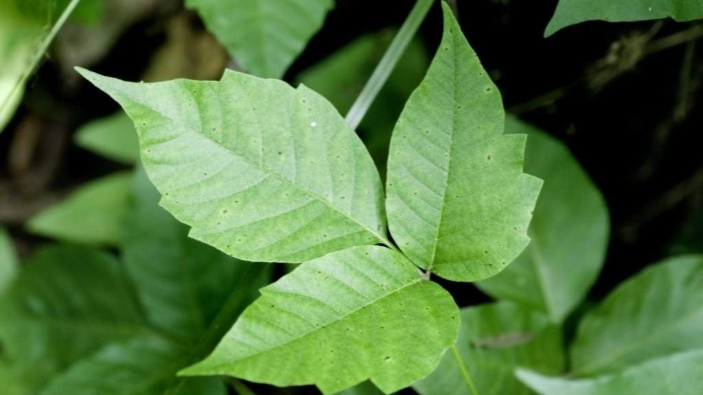 close up of poison ivy with three leaves