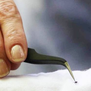 research hands picking up a tick with tweezers