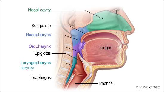 a medical illustration of the anatomy of the nasal cavity, palate, tongue and throat