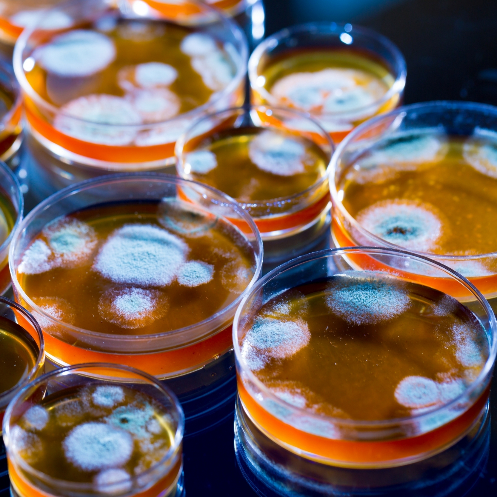 Penicillin fungi in petri dishes in a research lab