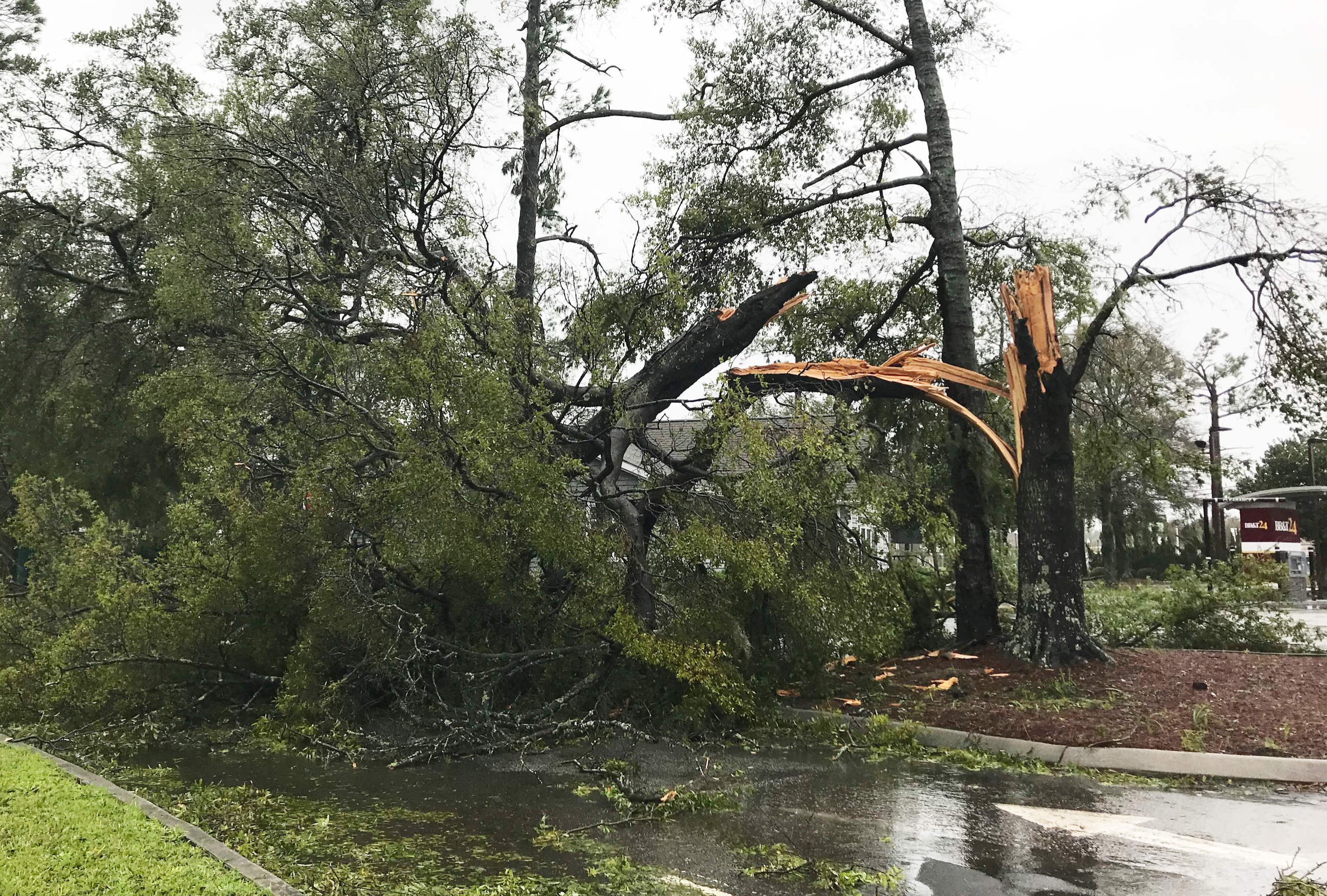 a large tree cracked, split and broken after storm in North Carolina - Hurricane Florence