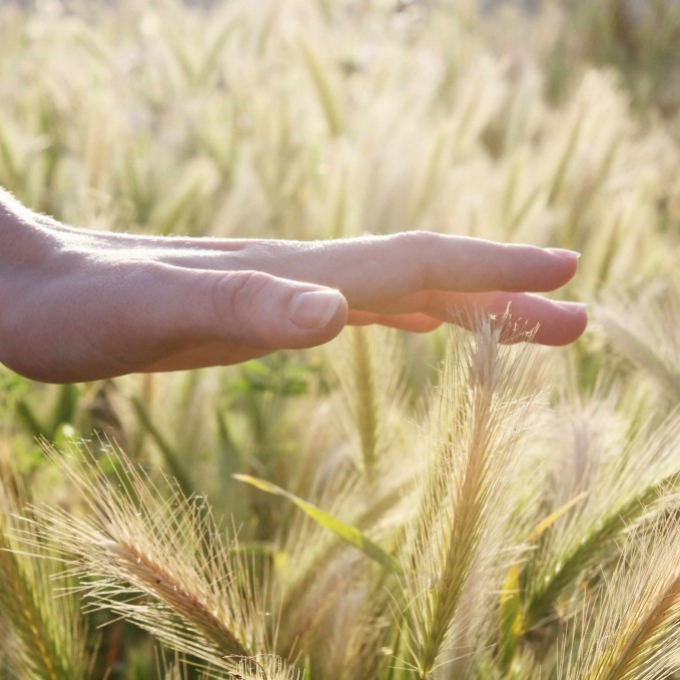 a woman's hand lightly, thoughtfully, mindfully touching some wheat in a field