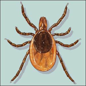 a medical illustration of a femaile black-legged (deer) tick