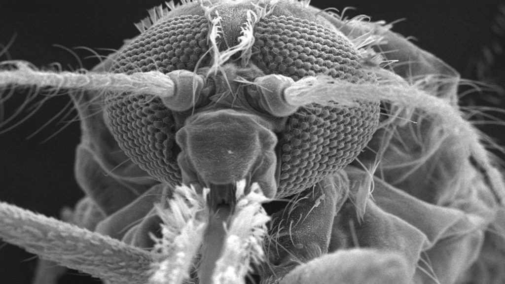 The head of an Anopheles gambiae mosquito, under a magnification of 114X, courtesy of the Centers for Disease Control and Prevention.