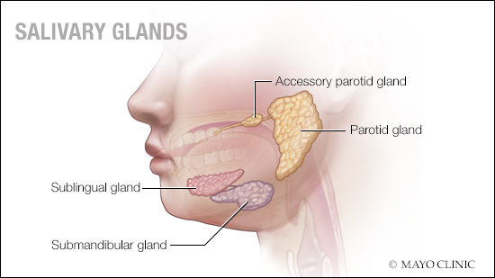 a medical illustration of salivary glands