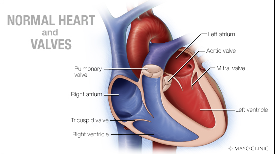a medical illustration of a normal heart and valves