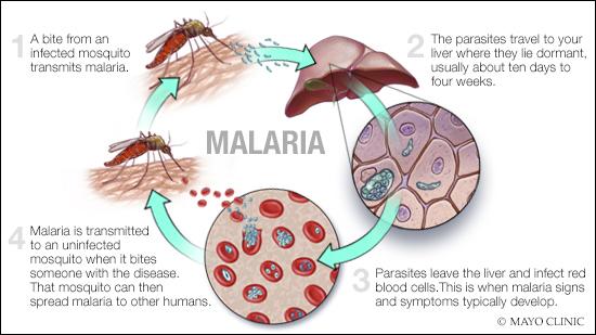 Ciclo de transmisión de malaria