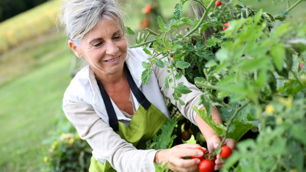 An older gray haired woman is picking tomatoes in a garden.