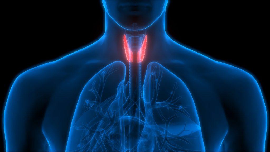Imagen tridimensional donde se resalta la glándula tiroides