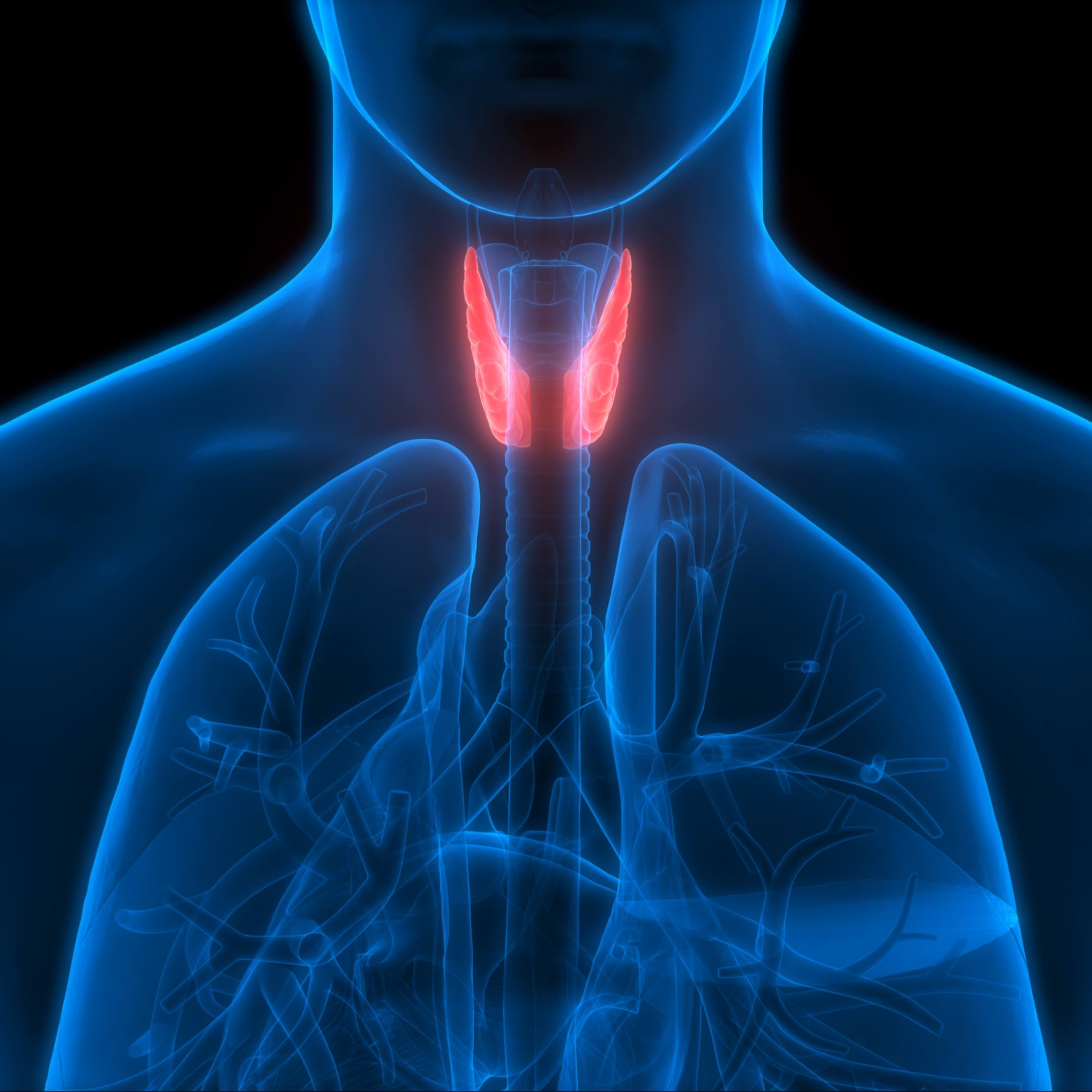 3D anatomy image with the thyroid gland highlighted