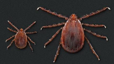 An adult and nymph Asian longhorned tick.